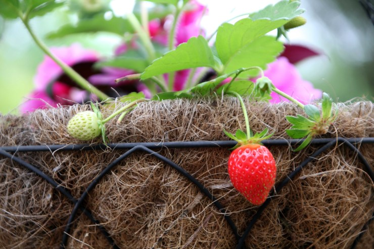 Strawberries and impatiens in my hanging baskets